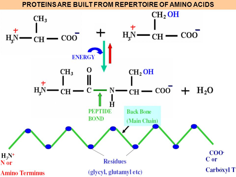 PROTEINS ARE BUILT FROM REPERTOIRE OF AMINO ACIDS