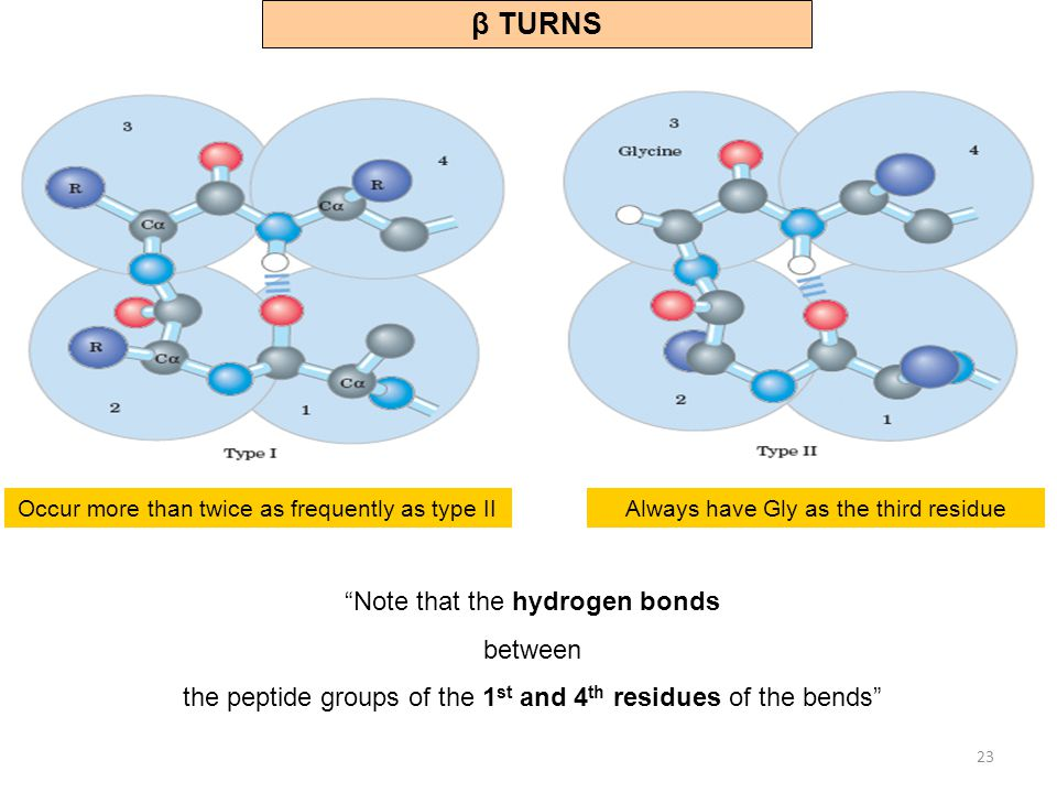 β TURNS Note that the hydrogen bonds between