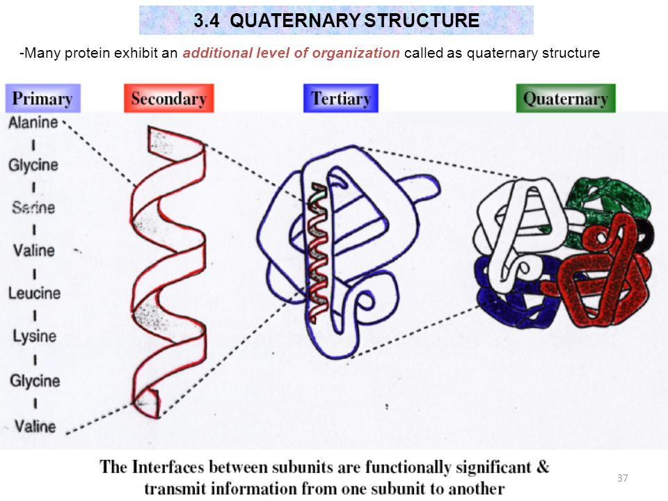 3.4 QUATERNARY STRUCTURE -Many protein exhibit an additional level of organization called as quaternary structure.