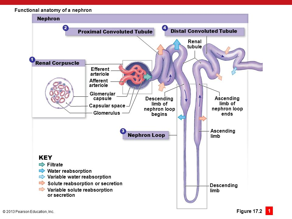 Nephron Anatomy And Function Image collections - human body anatomy