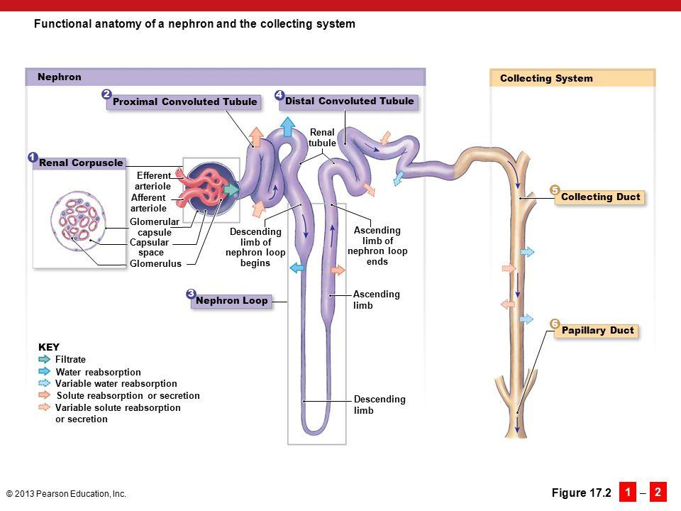 Atemberaubend Nephron Anatomy And Function Bilder Menschliche