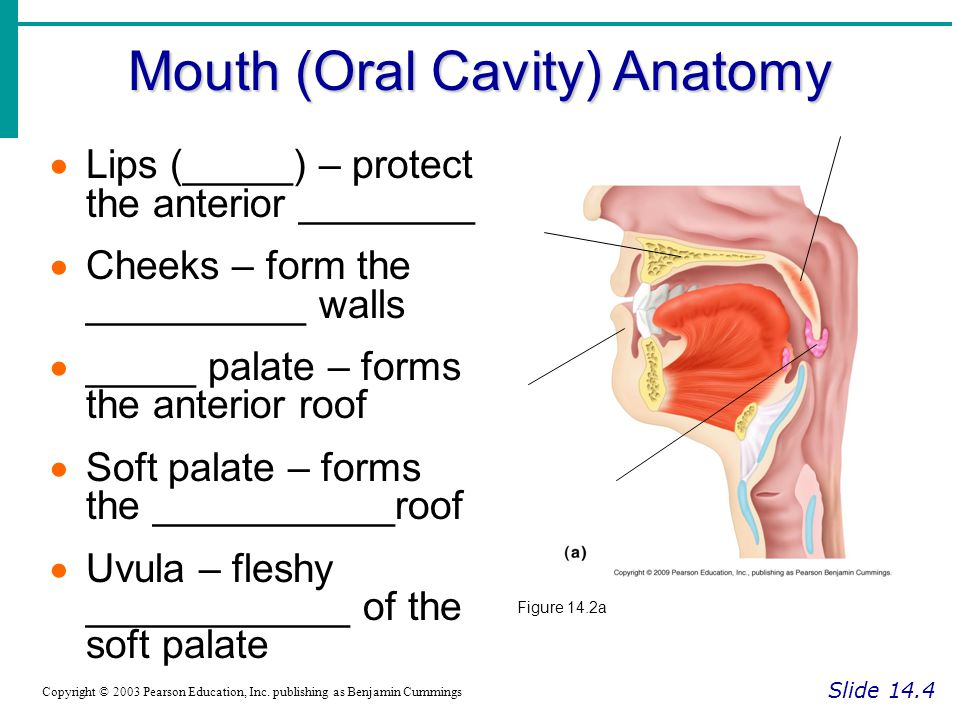 Roof Of Mouth Anatomy The Skull Boundless Anatomy And Physiology