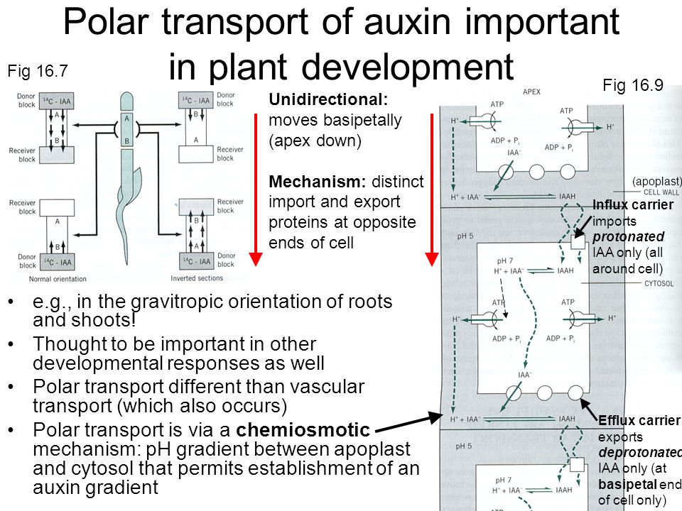 the importance of auxins in plant growth and root formation Plant responses to environmental cues  mediated by gravity sensing cells in root cap thigmotropism - plant growth  other effects of auxins stimulates formation .