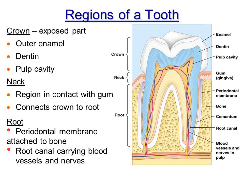 Regions of a Tooth Crown – exposed part Outer enamel Dentin