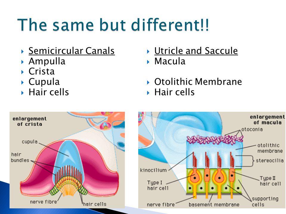 Cupula Semicircular Canal