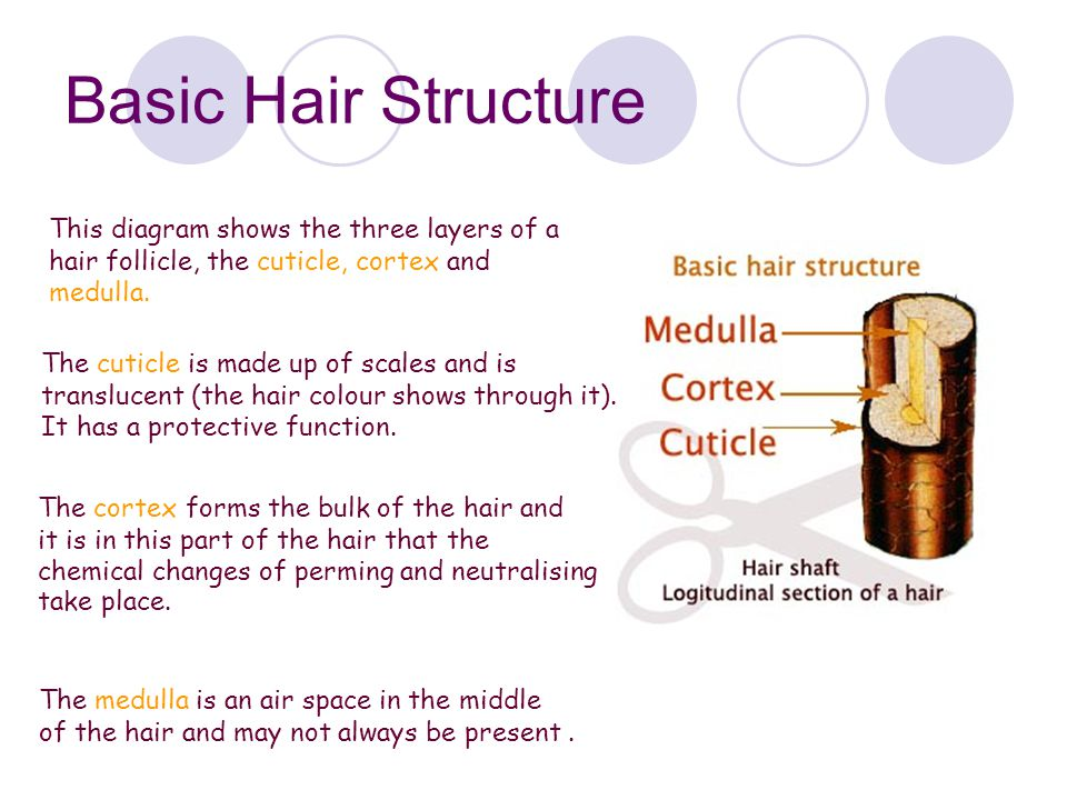 Basic Hair Structure This diagram shows the three layers of a hair follicle, the cuticle, cortex and medulla.