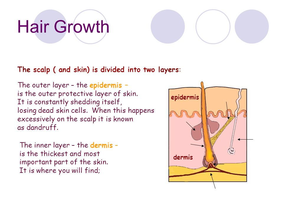 Hair Growth The scalp ( and skin) is divided into two layers:
