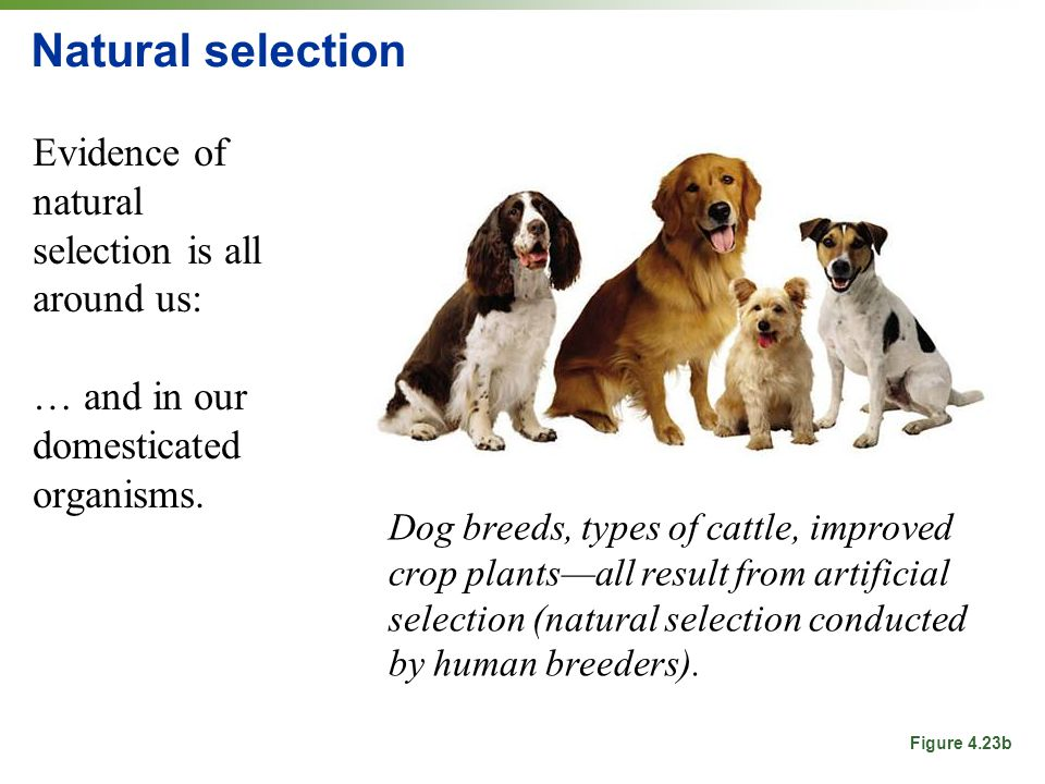 natural selection and artificial selection in dogs Dog breeds and other varieties of domesticated animals were developed through artificial selection the evolution: natural and artificial selection gizmo.