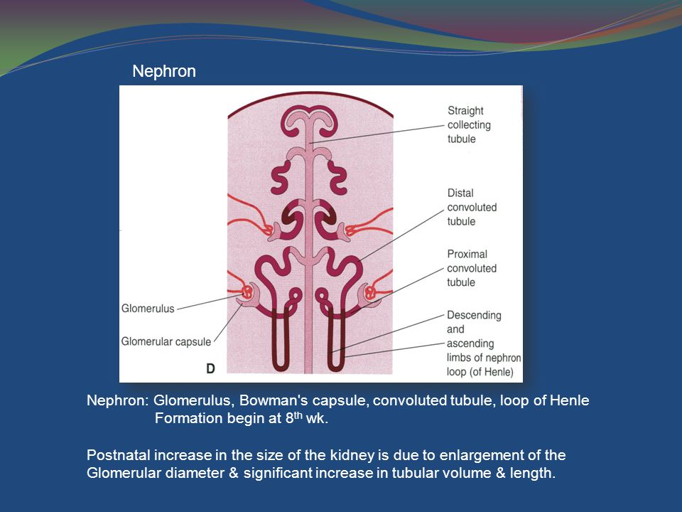 Nephron Nephron: Glomerulus, Bowman s capsule, convoluted tubule, loop of Henle. Formation begin at 8th wk.