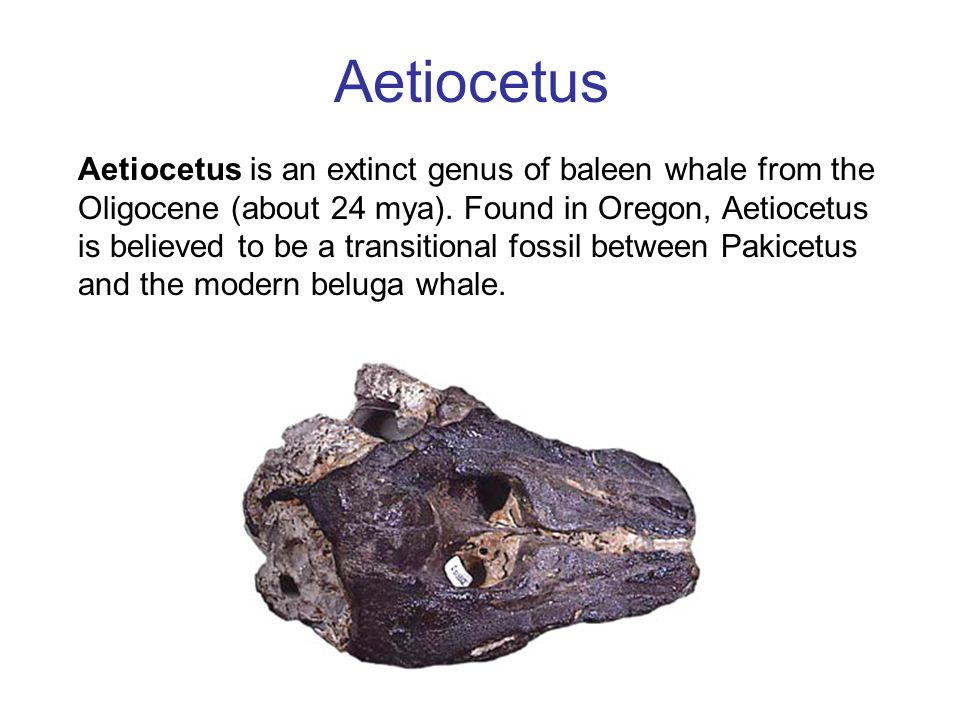 a comparison of the ancient pakicetus to the modern whale The evolution of whales from forms such as platecarpus is far more plausible than is the evolution of whales from a small terrestrial animal like pakicetus (see fig 93) nevertheless, the skeletons and skulls of mosasaurs and early whales are similar (see figures 94 and 95 above), so similar that the evolution of whales from such animals.