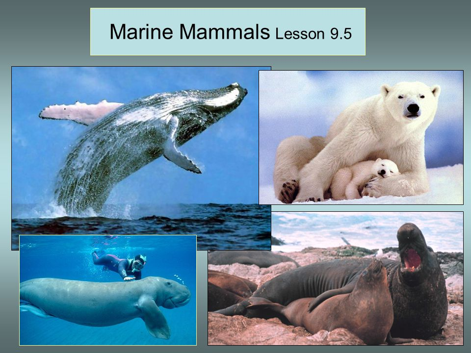 Marine Mammals Lesson 9.5 Great white shark, hump-backed whale breaching, sockeye salmon spawning, male and female elephant seals.