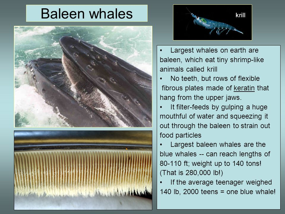 Baleen whales Largest whales on earth are