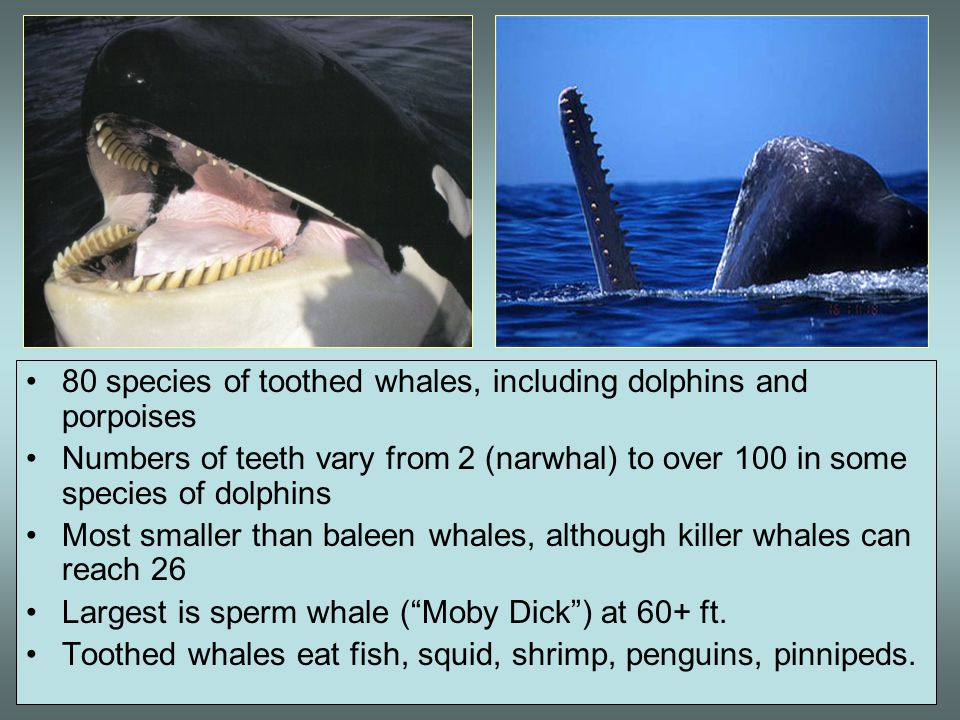 80 species of toothed whales, including dolphins and porpoises