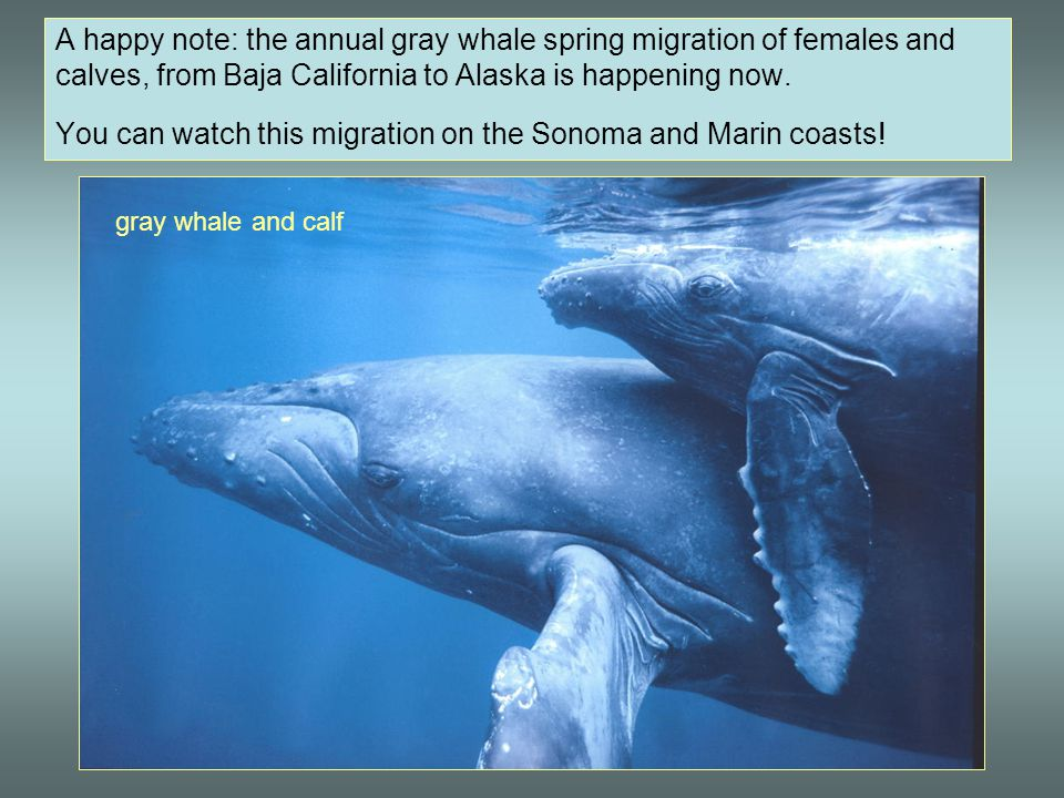 A happy note: the annual gray whale spring migration of females and calves, from Baja California to Alaska is happening now. You can watch this migration on the Sonoma and Marin coasts!