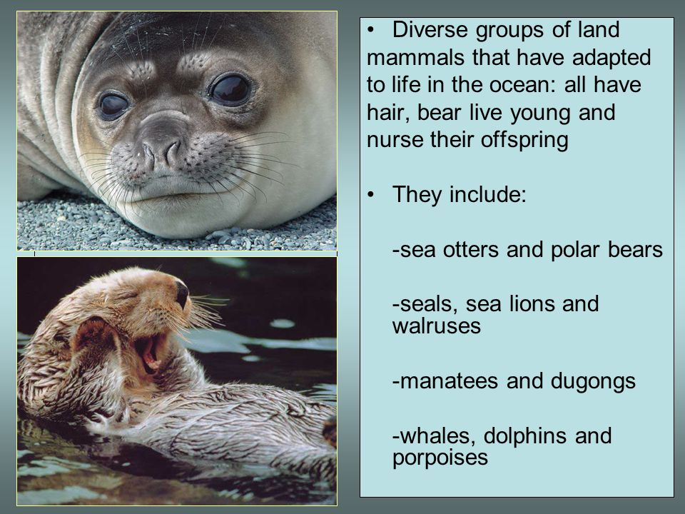 Diverse groups of land mammals that have adapted. to life in the ocean: all have. hair, bear live young and.