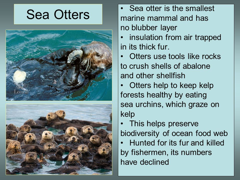 Sea Otters Sea otter is the smallest marine mammal and has