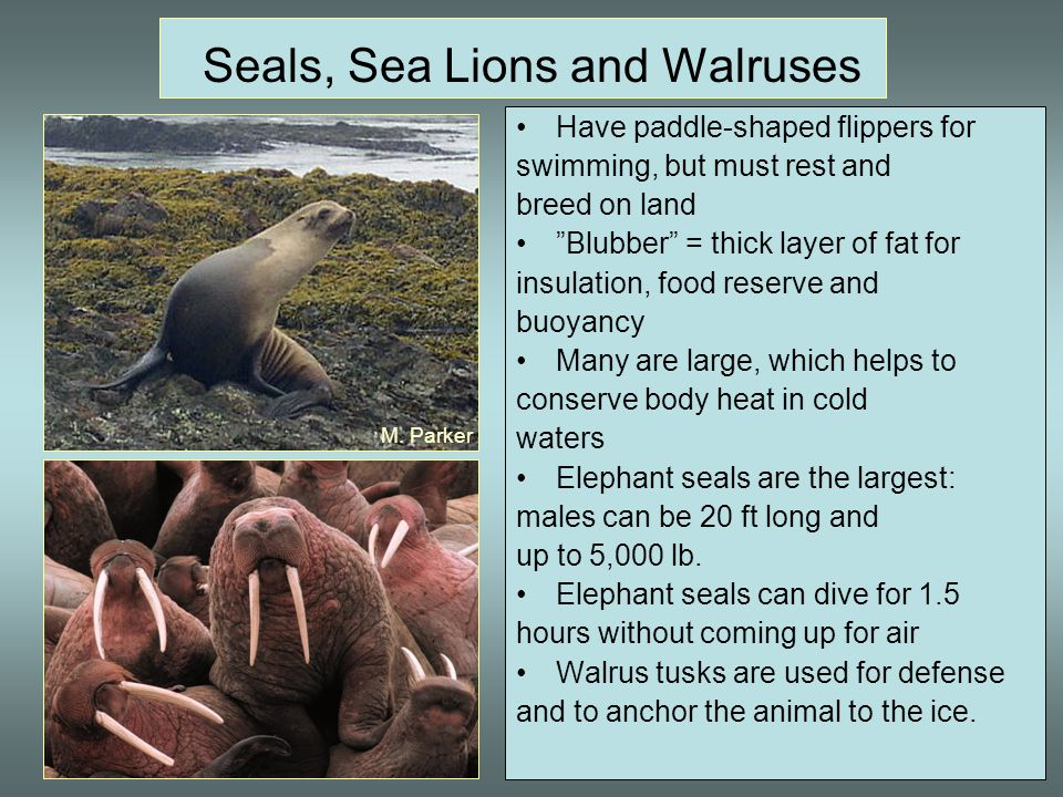 Seals, Sea Lions and Walruses