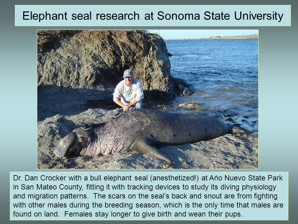 Elephant seal research at Sonoma State University