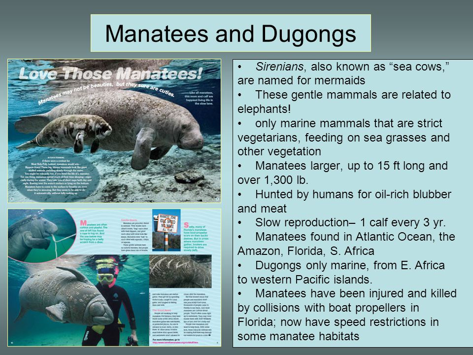 Manatees and Dugongs Sirenians, also known as sea cows,