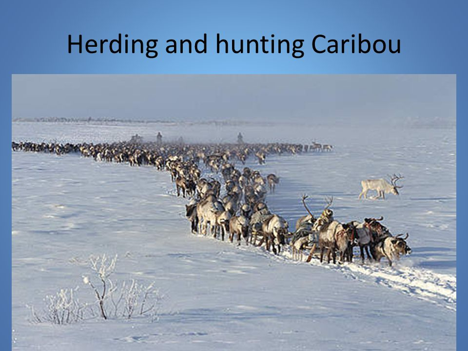 9 Herding And Hunting Caribou