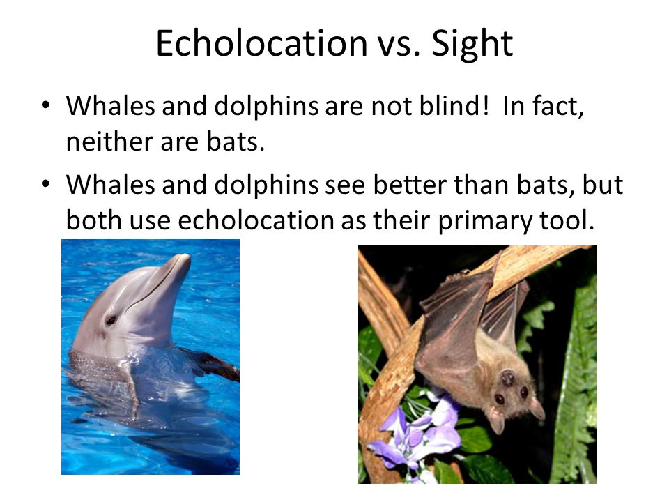 echolocation the world through a bat's How does a bat's bio bats and old world leaf bats such as the clicking of the spotted bat echolocation calls are coded through their.