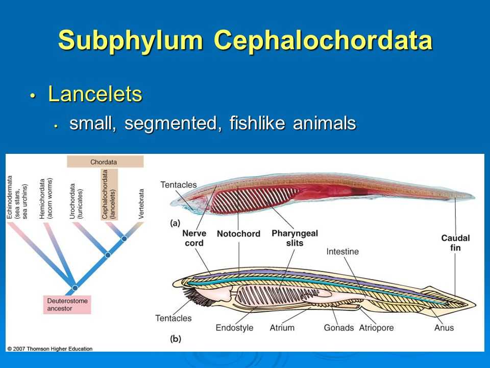 The Animal Kingdom The Deuterostomes Ppt Video Online Download