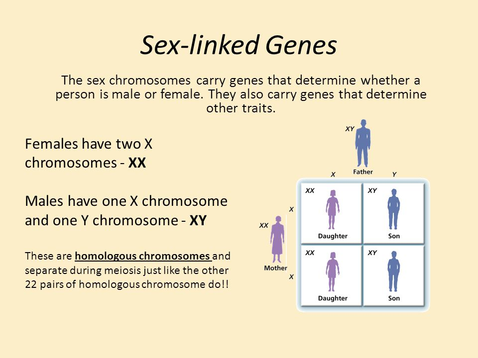 Sex-linked Genes Females have two X chromosomes - XX