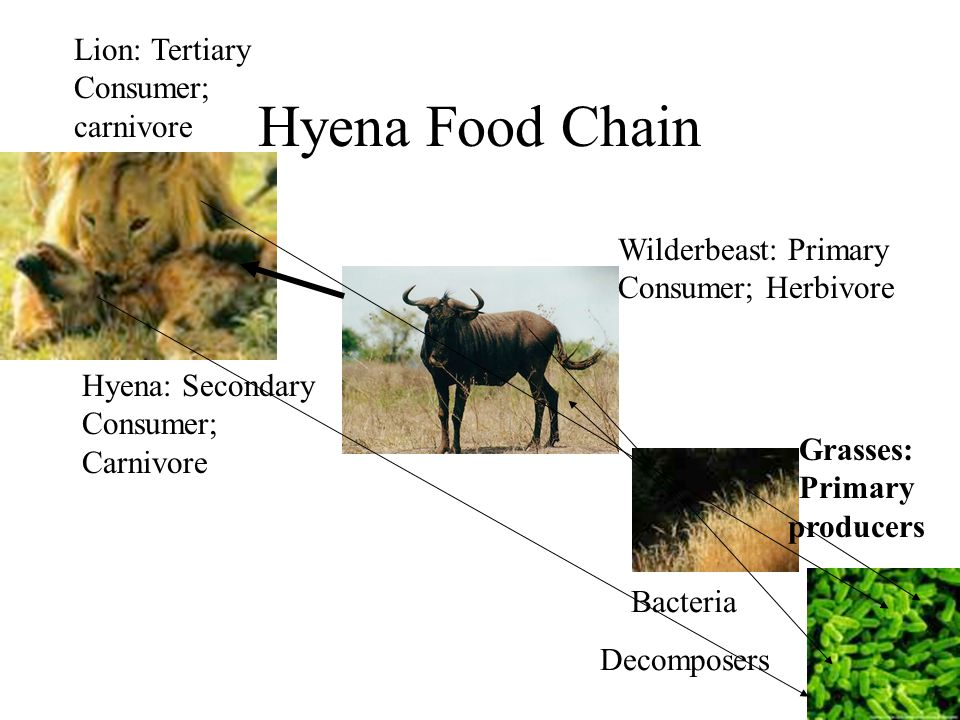 Which Organism In The Food Chain Is A Secondary Consumer