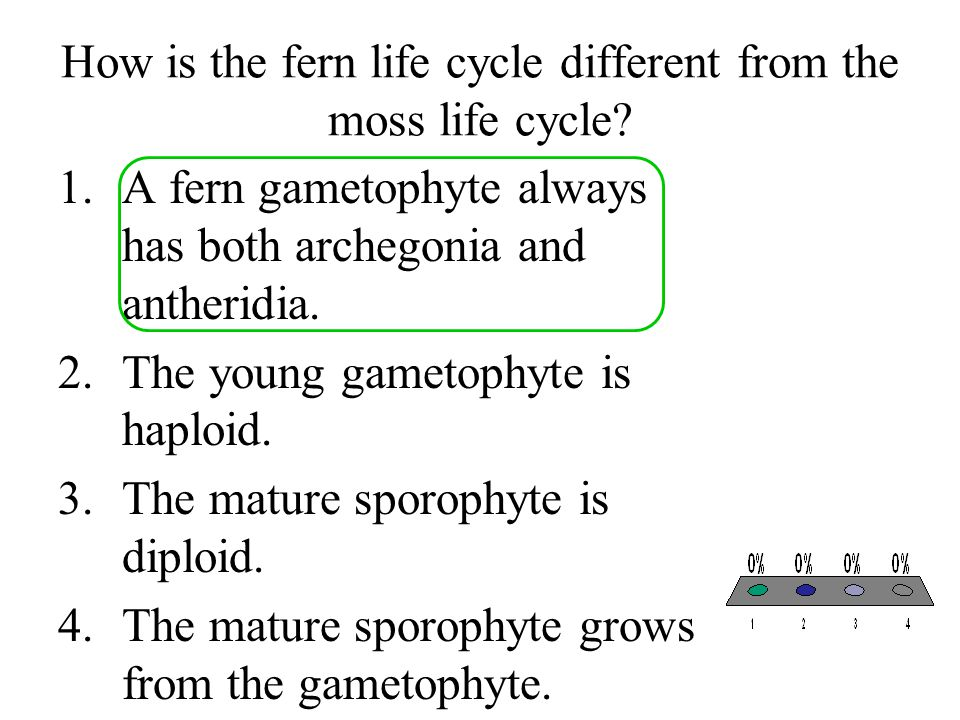 How is the fern life cycle different from the moss life cycle