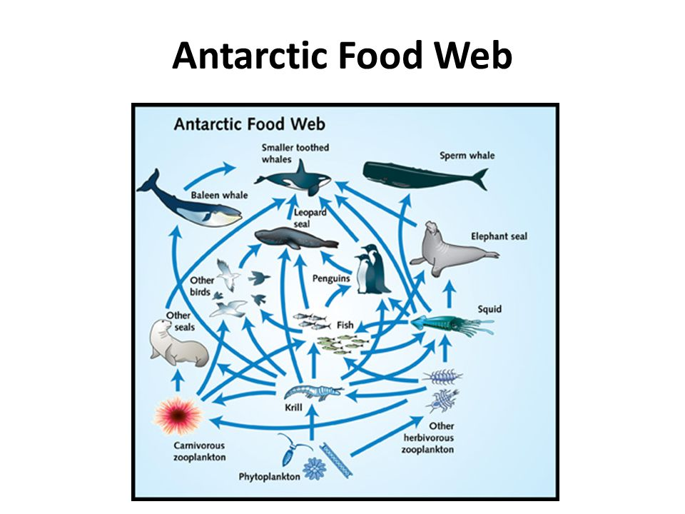 Food chains food webs and energy pyramids ppt video for Antarctic cuisine