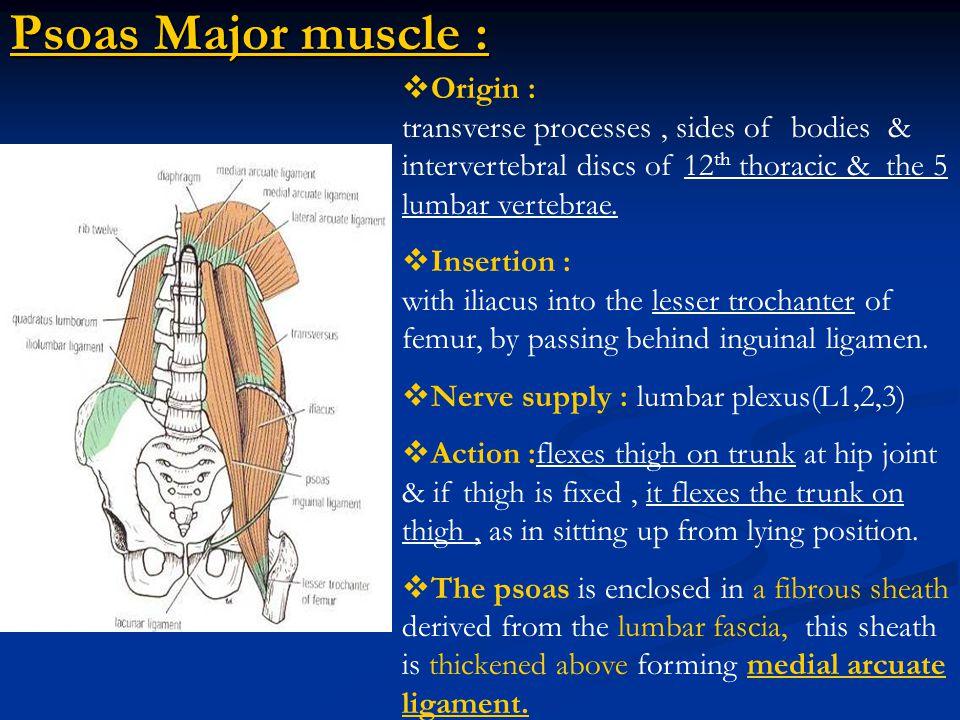 musculus iliopsoas wikipedia