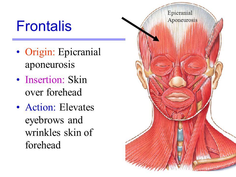 Wunderbar Frontalis Bilder - Menschliche Anatomie Bilder ...