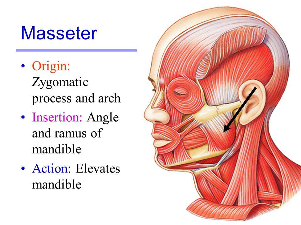 Masseter Origin: Zygomatic process and arch