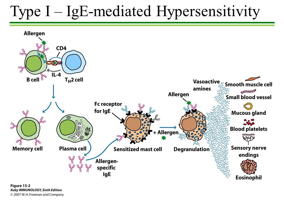 immune response hypersensitivity Woman's stomach with arrows pointing out different causes of food sensitivity  in  classic food allergies type 1, the specific immune response (third barrier) plays.