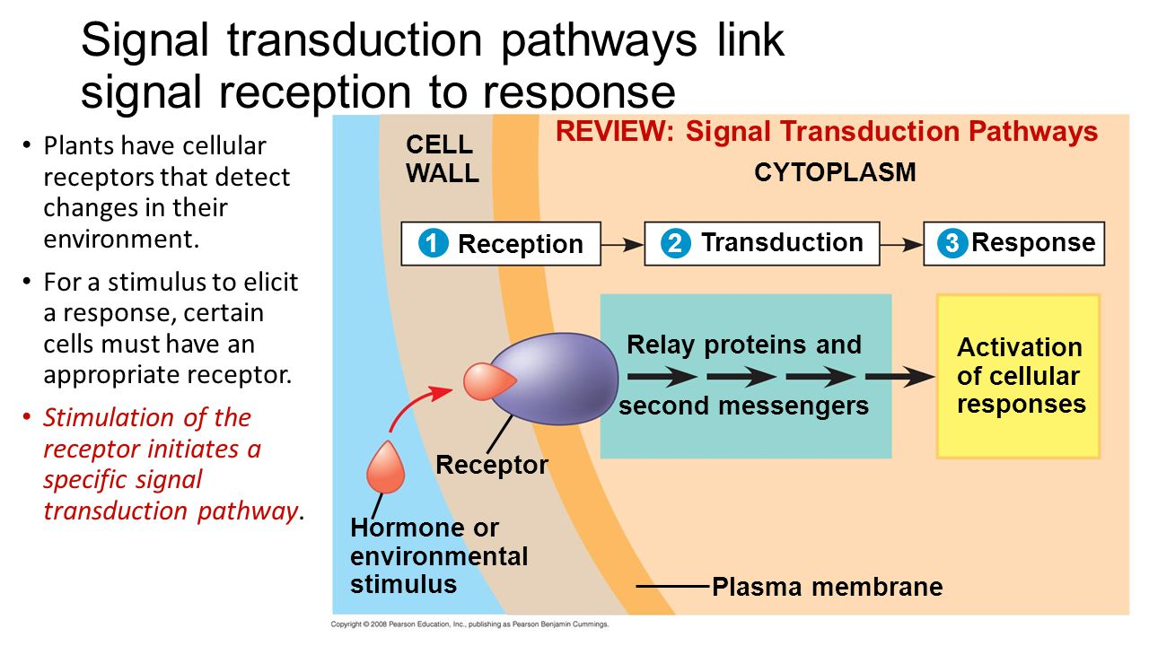 ap biology cell signaling essay View notes - ap bio essay ch 17 from biology ap bio at cresskill jr sr high sch ch 17- transcription and translation the central dogma of biology is dna makes rna.