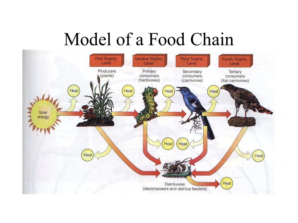 Model of a Food Chain