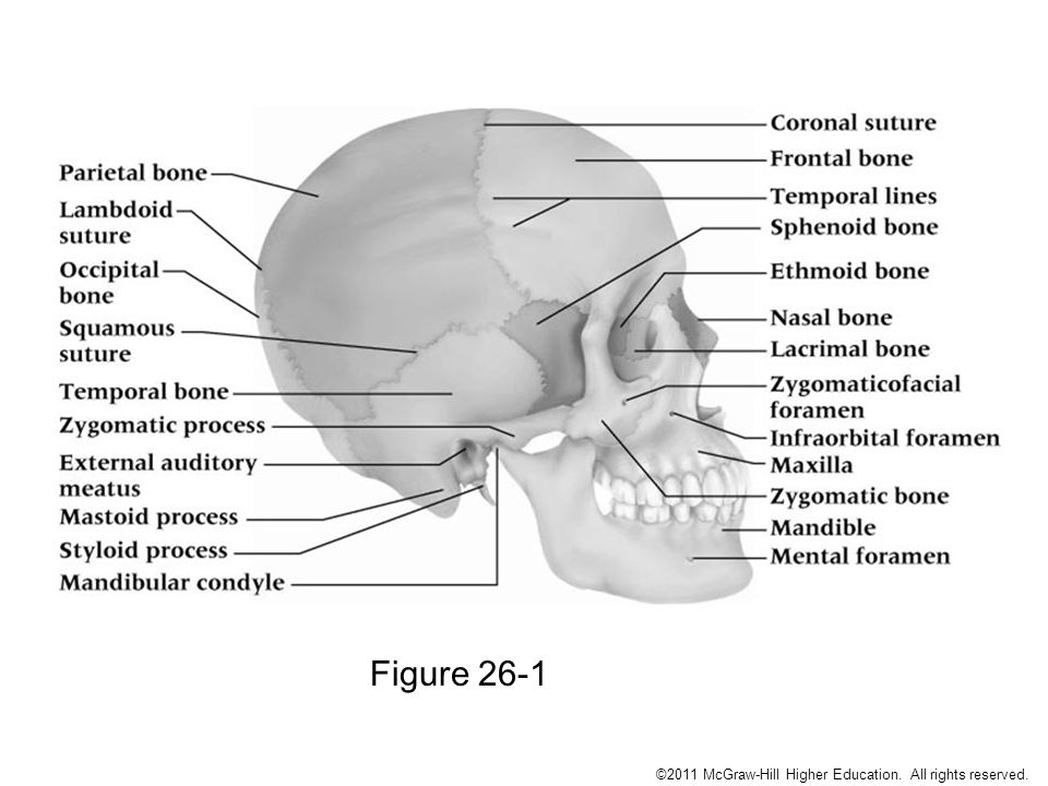 Chapter 26 : The Head, Face, Eyes, Ears, Nose and Throat - ppt ...