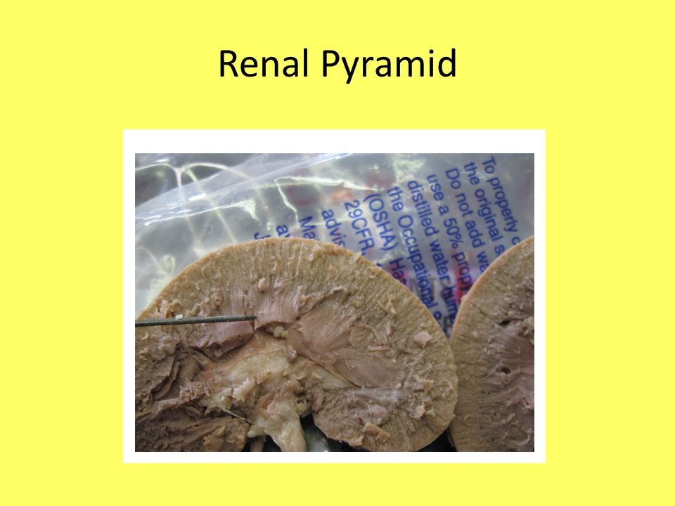 The Urinary System Part 1 Rat Dissection Ppt Video
