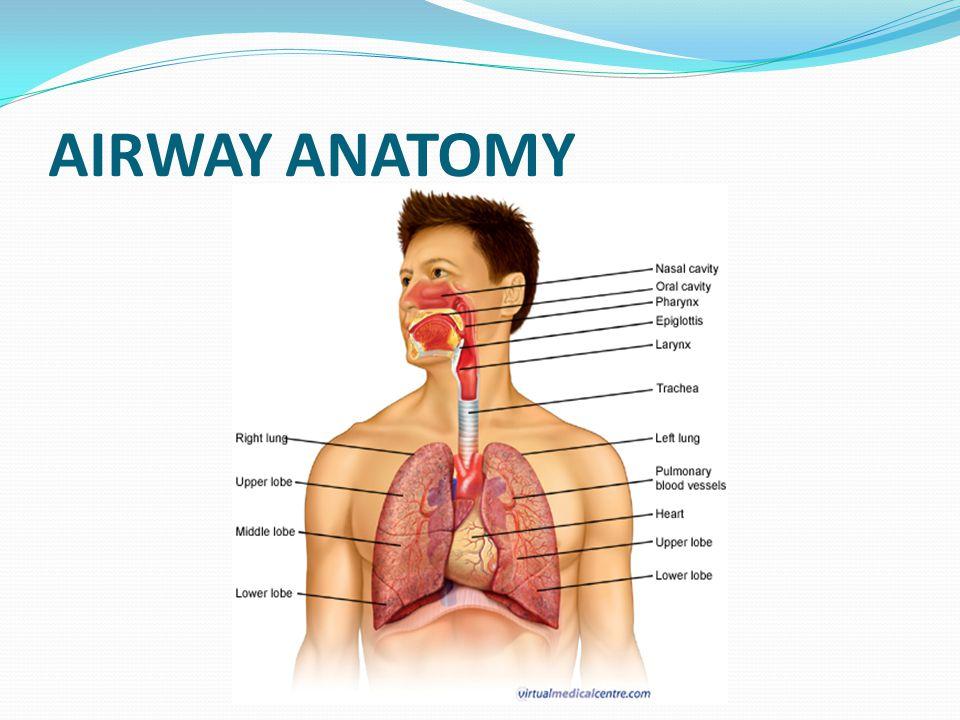 Lung Airways Anatomy Images Human Body Anatomy