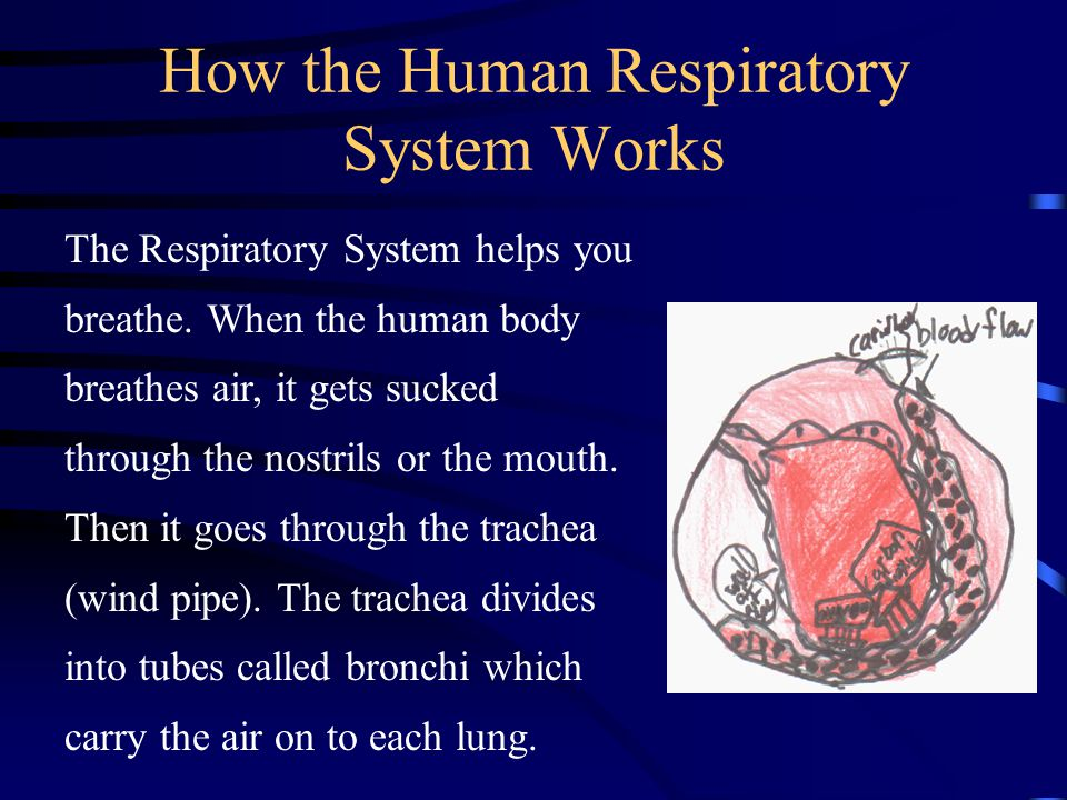 how to make human respiratory system