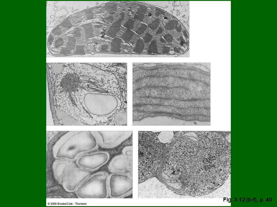 Figure 3.12: Plastids. From top, left to right: (b) A maize (Zea mays) leaf chloroplast, showing dense thylakoid membranes. (c) A maize proplastid, with only a few internal (prolamellar) membranes. (d) A small leukoplast from an inner white leaf of endive (Cichorium endiva). (e) An amyloplast from a bean (Phaseolus vulgaris) seedling, showing large starch grains. (f) A chromoplast from a mature red pepper (Capsicum sp.). The dark circles are globules of red and orange xanthophylls.