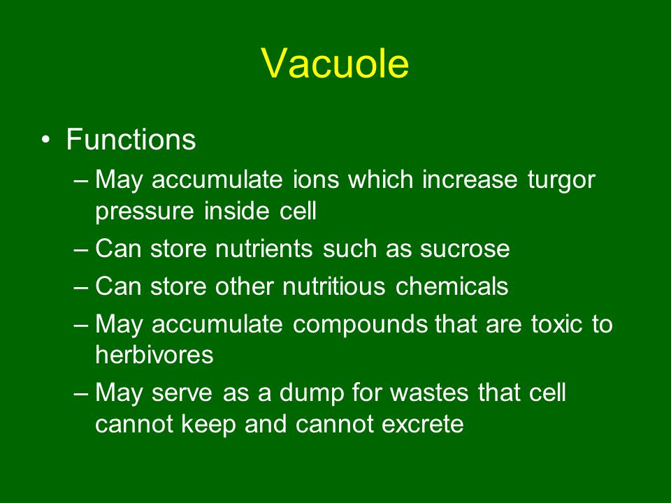 Vacuole Functions. May accumulate ions which increase turgor pressure inside cell. Can store nutrients such as sucrose.
