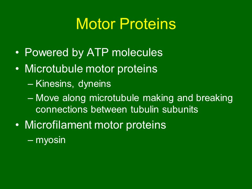 Motor Proteins Powered by ATP molecules Microtubule motor proteins