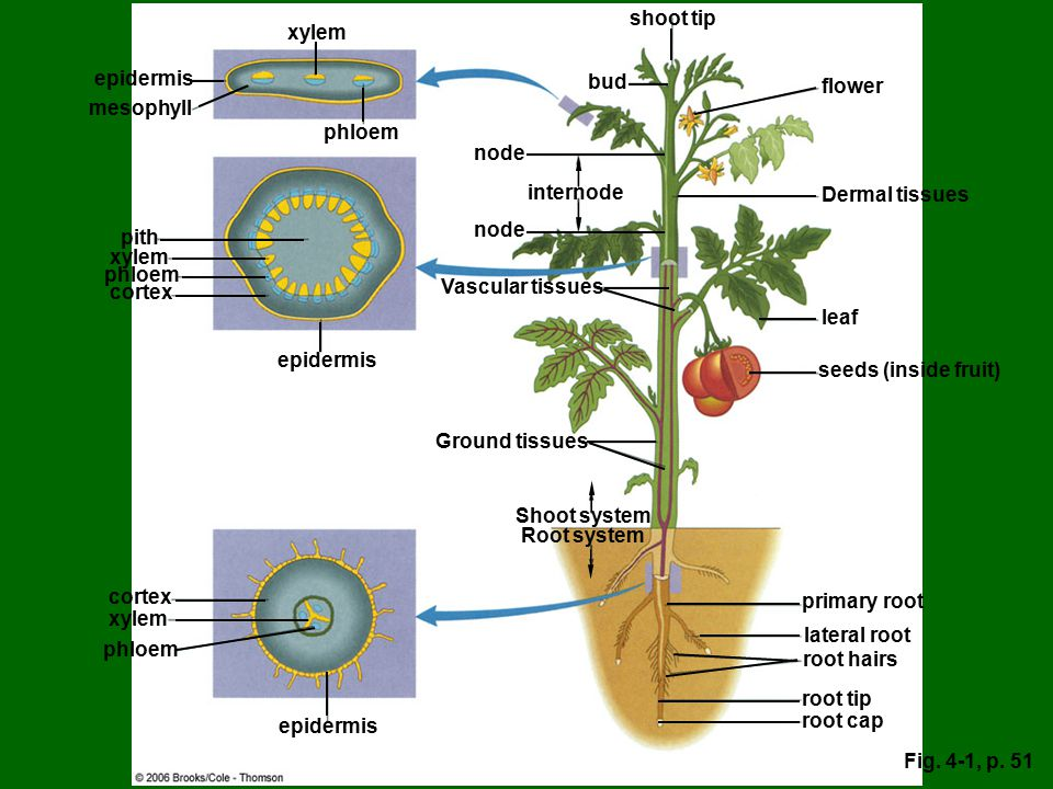 Shoot system Root system