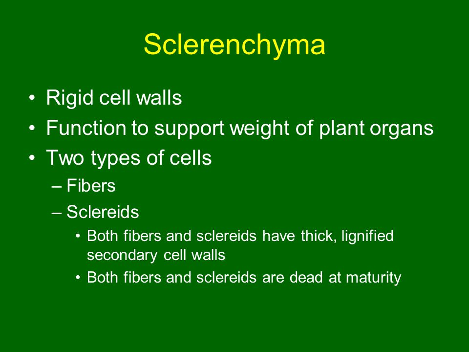 Sclerenchyma Rigid cell walls