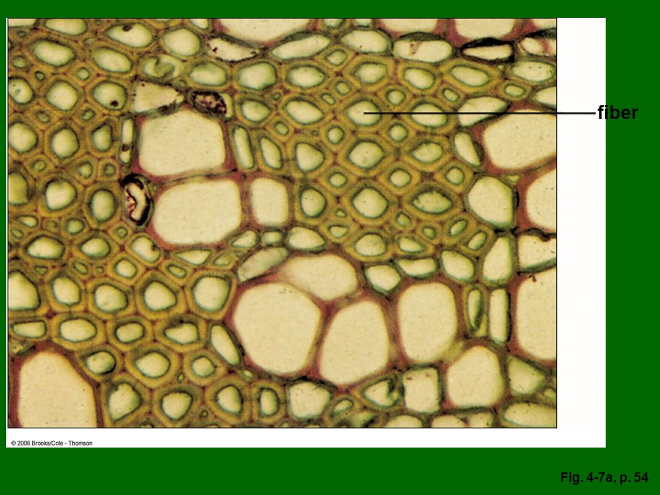 fiber Figure 4.7: Sclerenchyma. (a) Cross section of geranium (Pelargonium sp.) stem showing clusters of green-stained fibers. x200.