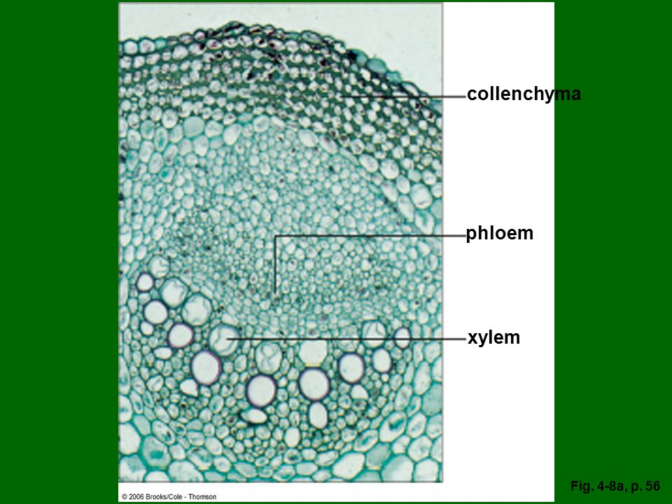 collenchyma phloem xylem Fig. 4-8a, p. 56