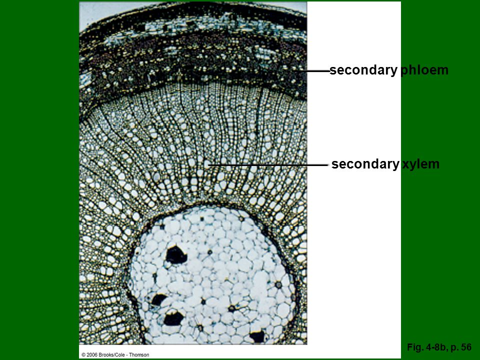 secondary phloem secondary xylem Fig. 4-8b, p. 56