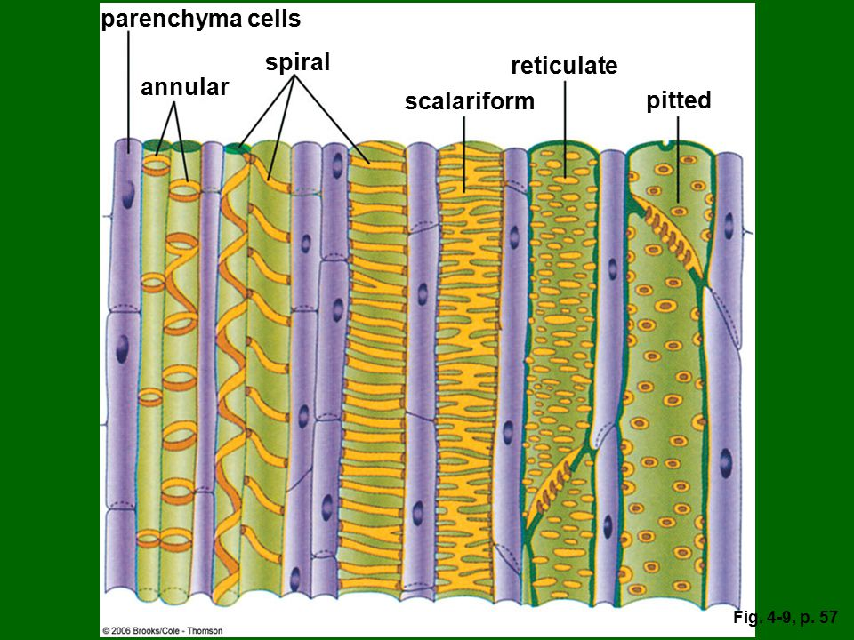 parenchyma cells spiral reticulate annular scalariform pitted