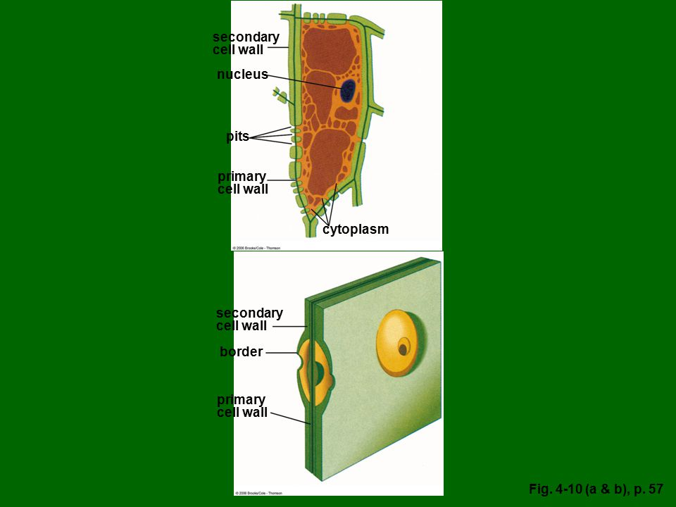 secondary cell wall nucleus pits primary cell wall cytoplasm secondary